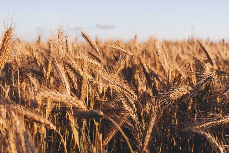 field-of-wheat